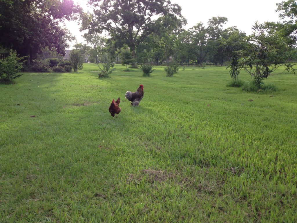 Favorite Chickens Sterling and Little Red Hen