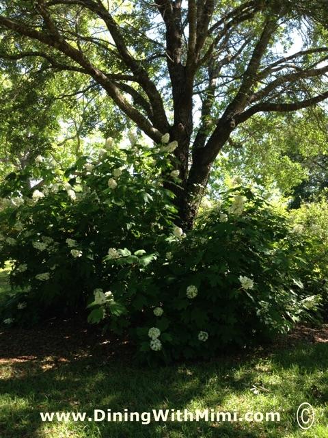 Oak Leaf Hydrangea under Large Tree www.diningwithmimi.com