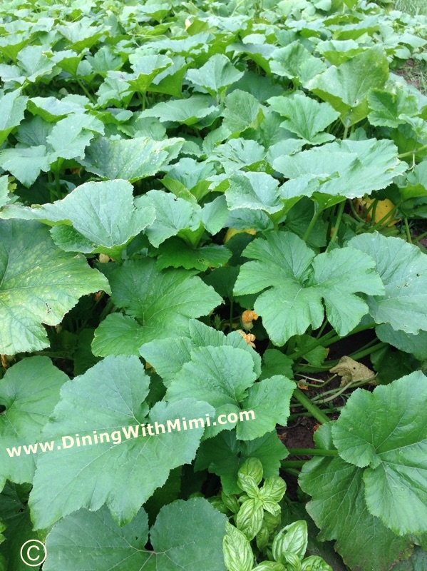 Family Garden of Squash and Zucchini Plants