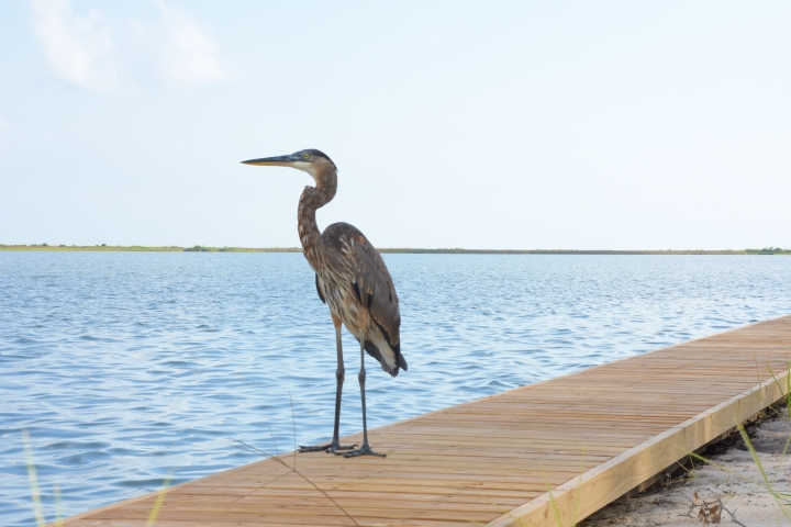 Heron surveying for My Dauphin Island restorative paddle www.diningwithmimi.com