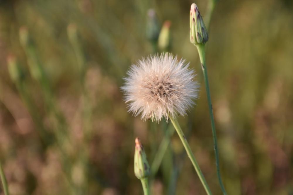 Wishing on dandelions from my yard www.diningwithmimi.com