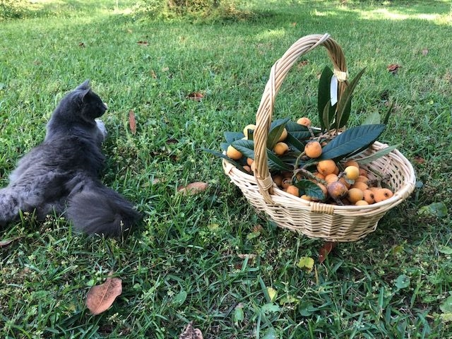 Dining With Mimi Mascot, Mennu  laying on grass beside a basket of freshly picked loquats www.diningwithmimi.com