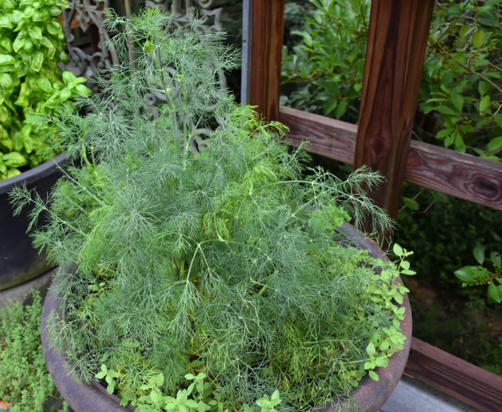 Outdoor herbs on deck for Mimis-Outsider-Chef-Culinary-Tips-Dill-www.diningwithmimi.com_.jpg